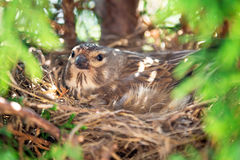 Small Common Linnet bird laying eggs Stock Image