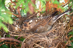 Small Common Linnet bird laying eggs Royalty Free Stock Images