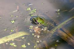 Small green frog resting in pond water royalty free stock photos