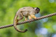 Small common squirrel monkeys (Saimiri sciureus) Royalty Free Stock Photo