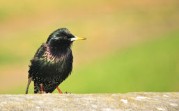 Small Common Starling bird Stock Photography
