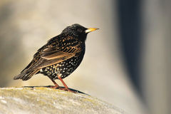 Small Common Starling bird. On concrete Stock Photography
