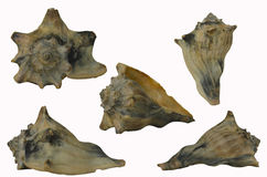 Small Conch Shell. Group of five different views of a conch shell Royalty Free Stock Image