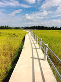 Small concrete bridge walkway through golden rice fields with clouds and blue sky. Into the village Royalty Free Stock Photos