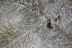 Small cones. Branches in hoarfrost. Green needles. Horizontal Royalty Free Stock Photography