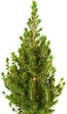 Small conifer tree Stock Photo