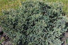 Small coniferous evergreen shrub of Juniperus squamata. In the garden Stock Photos