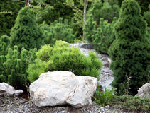 Small conifers on the rock garden. Small conifers and pine trees plants on the rock garden Stock Image