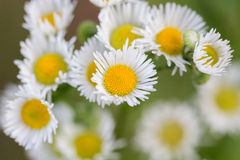 Small convolute flowers of camomile Royalty Free Stock Photo