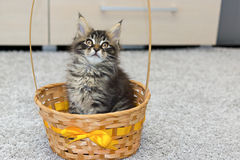 Small coon kitten in basket Stock Photos