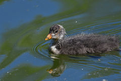 Small coot swimming Royalty Free Stock Image