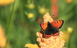 Small copper . A view of a small copper butterfly sitting on a seed head against a green background Royalty Free Stock Photo