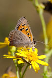 Small Copper Stock Image