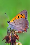 Small copper. Close-up of small copper (Lycaena phlaeas), a common European butterfly Royalty Free Stock Image