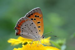 Small Copper Butterfly. On yellow flower Stock Images