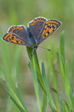 Small Copper Butterfly. On green gras. Seen on a meadow in East Germany,Schlaubetal, near Muellrose, State Brandenburg Royalty Free Stock Photo