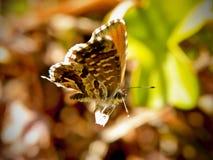 Small Copper Butterfly. A small copper butterfly on a vine Geranium Stock Photos