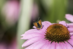 Small copper butterfly on an Echinacea flower. Soft image of a small copper butterfly on an Echinacea flower. Pretty garden wildlife Royalty Free Stock Photo