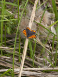 Small copper butterfly Stock Photography