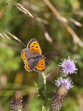 Small copper butterfly Royalty Free Stock Photo