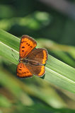 Small copper butterfly on leaf. Macro detail of small copper butterfly. Lycaena phlaeas Stock Photos