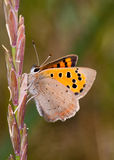 Small Copper butterfly (Lycaena phlaeas). Close-up of a Small Copper butterfly resting on a grass stem Stock Photos