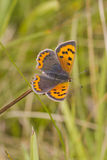 Small Copper butterfly (Lycaena phlaeas). Perched closeup Royalty Free Stock Photography