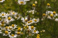 Small Copper Butterfly. A Small Copper butterfly, Lycaena phlaeas, feeding on a daisy, Bellis perennis Stock Photo