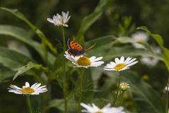 Small Copper Butterfly. A Small Copper butterfly, Lycaena phlaeas, feeding on a daisy, Bellis perennis Stock Photos