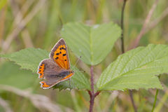 Small Copper butterfly (Lycaena phlaeas) Royalty Free Stock Image