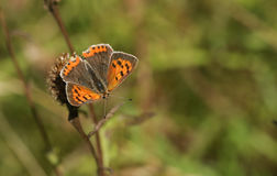 A Small Copper Butterfly Lycaena phlaeas perched on a plant. A beautiful Small Copper Butterfly Lycaena phlaeas perched on a plant Stock Images