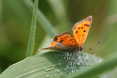 Small Copper Butterfly. (Lycaena phlaeas) resting on a blade of grass Royalty Free Stock Photo