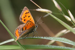 Small Copper Butterfly. (Lycaena phlaeas) resting on blade of grass covered with drew drops Stock Photography
