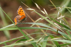 Small Copper Butterfly. (Lycaena phlaeas) resting on blade of grass covered with drew drops Stock Images