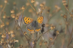 Small copper butterfly, Lycaena phlaeas Royalty Free Stock Image