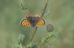 Small copper butterfly, Lycaena phlaeas. Single insect on perch Stock Image