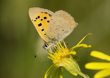 Small Copper Butterfly on Ragwort. Small Copper Butterfly - Lycaena phlaeas, on Ragwort Royalty Free Stock Image