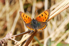 Small copper butterfly Royalty Free Stock Images