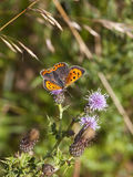 Small copper butterfly on thistle Royalty Free Stock Image