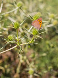 A Small Copper Butterfly on a Thistle plant. A Small Copper Butterfly (Lycaena phlaeas) sits on a juvenile Thistle plant (Cardus) with still closed flower buds Stock Image