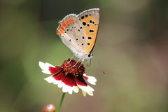 Small Copper on a calliopsis Stock Images