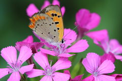 Small Copper on dianthus. The closeup picture of a small Copper on dianthus Stock Photo