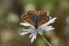 Small Copper is a european butterfly, different names are American Copper and Common Copper Stock Photo