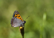 Small copper. A small copper on a flower bud Royalty Free Stock Image
