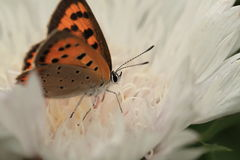 Small Copper on a flower Royalty Free Stock Photo