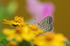 Small Copper on gold medallion flower Stock Images