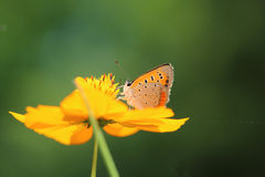 Small Copper on golden cosmos Stock Image