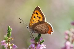 Small copper butterfly royalty free stock photos