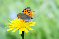 Small copper lycaena phlaeas Stock Photo
