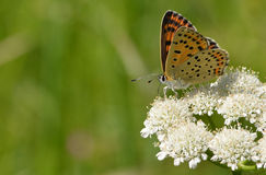 Small copper (Lycaena phlaeas) butterfly Stock Photography